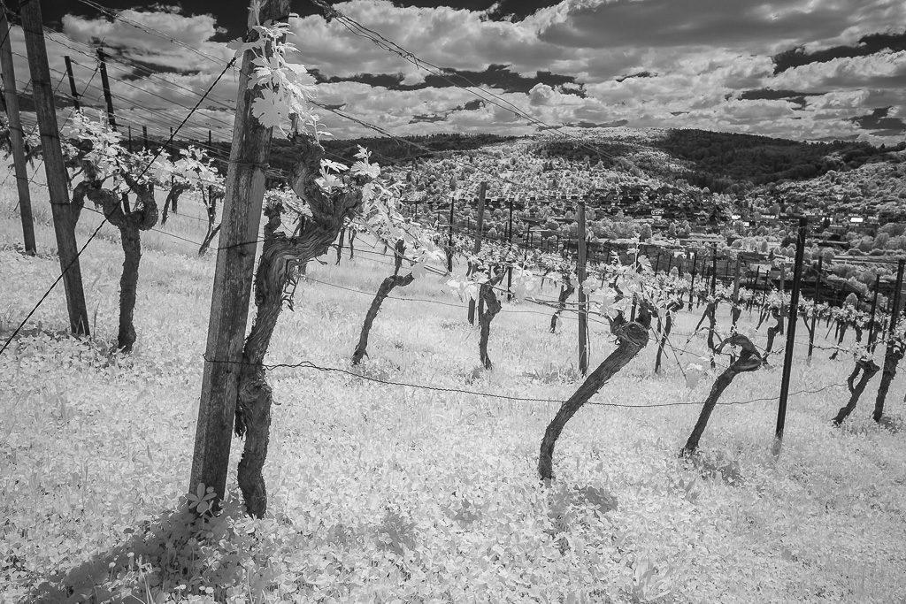 Weinreben in Infrarot