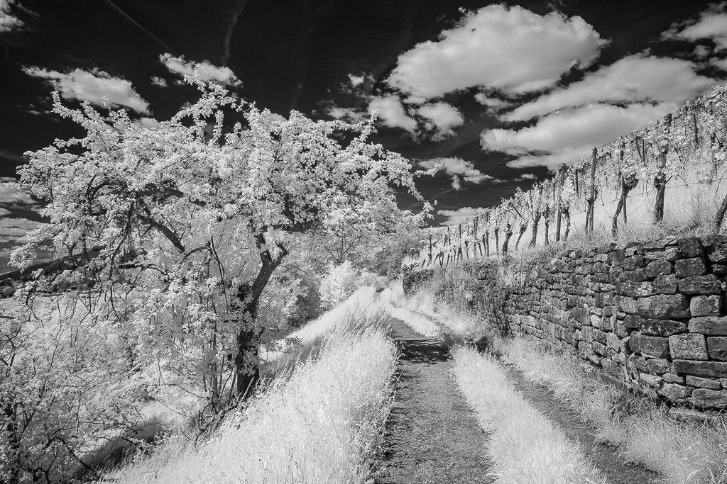 Obstbäume und Weinberg in Infrarot
